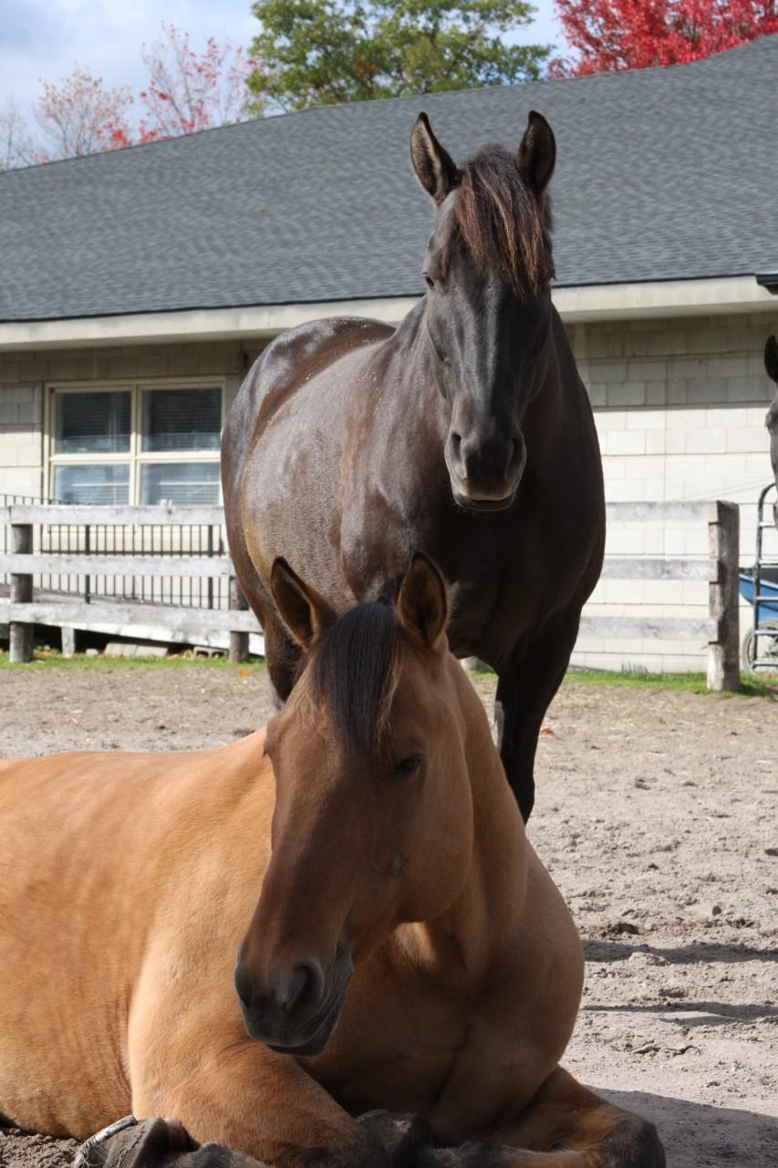 Horses-Muskoka hovering over Marshall